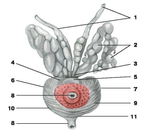 состав спермы мужчины: