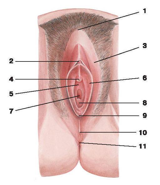 влагалища (ostium vaginae)