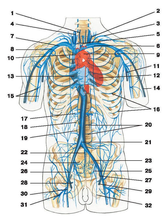 частично от мышц живота.